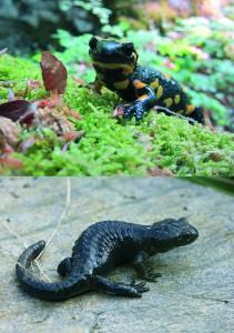 Abb. 1: Feuersalamander und Alpensalamander (Fotos: M. Meikl, J. Lechner)