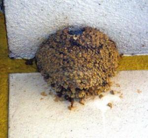 Kugelförmiges Nest der Mehlschwalbe