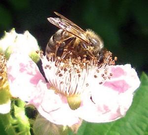 Honigbiene auf einer Brombeerblüte