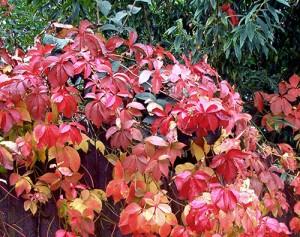 """""""Jungfernrebe"""": Die Blätter der Selbstkletternden Jungfernrebe leuchten im Herbst in prächtigem Rot. Umgangssprachlich wird sie häufig als Wilder Wein bezeichnet."""