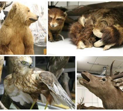 Präparate von Braunbär (Ursus arctos), Waschbär (Procyon lotor), Rohrweihe (Circus aeruginosus), Rothirsch (Cervus elaphus)