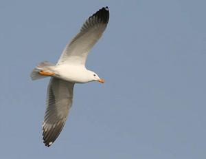 """Armenian Gull in flight at Sevan lake, March 2008"" von Xelgen (Aleksey Chalabyan) - Eigenes Werk. Lizenziert unter CC BY-SA 3.0 über Wikimedia Commons - http://commons.wikimedia.org/wiki/File:Armenian_Gull_in_flight_at_Sevan_lake,_March_2008.jpg#/media/File:Armenian_Gull_in_flight_at_Sevan_lake,_March_2008.jpg"