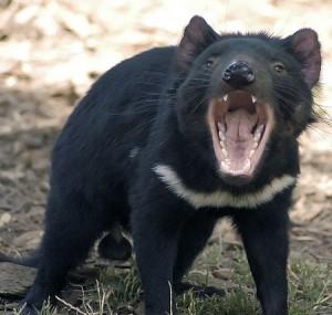 "<em>Canis lupus</em> Foto:  <a href=""http://commons.wikimedia.org/wiki/File:Tasdevil_large.jpg"" target=""_blank"">Wayne McLean via Wikimedia Commons </a>"