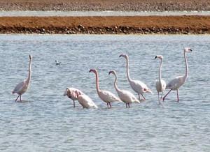 Flamingos in Salt pond (c) Eli Shany @ Wikimedia commons