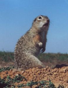 """""""Spermophilus suslicus-small"""" von Lobkov V.A.. Lizenziert unter CC BY-SA 3.0 über Wikimedia Commons - https://commons.wikimedia.org/wiki/File:Spermophilus_suslicus-small.JPG#/media/File:Spermophilus_suslicus-small.JPG"""