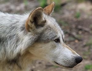 Wolf aus Wolfforschungszentrum Hellbrunn; (c) Mariofan13@Wikimedia Commons http://commons.wikimedia.org/wiki/File:Canis_lupus_Kopf.JPG