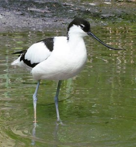 Jutta234 @ Wikimedia Commons http://commons.wikimedia.org/wiki/File:Recurvirostra_avosetta_-_Zoo_Frankfurt_4.jpg