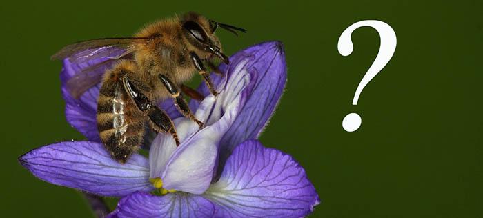 Die Honigbiene (Apis mellifera) wird gerne als Vorzeigeobjekt für Insektenhotels verwendet; (Foto: Laura Pabst)