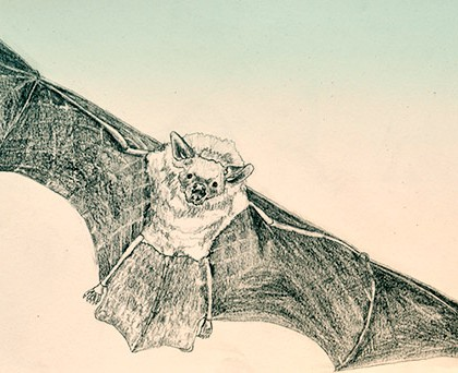 Fledermaus, Zeichnung: Iris Kofler