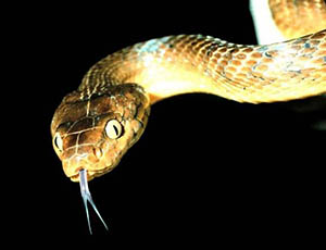 Brown tree snake Boiga irregularis: Licensed under Public Domain via Wikimedia Commons