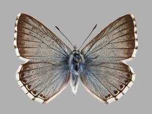 Abb.4: <em>Lysandra coridon</em> Männchen