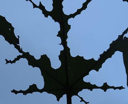 """Von Blattschneiderameisen der Gattung Atta skelettiertes Blatt im """"Regenwald der Österreicher"""" in Costa Rica;© Franz Essl"""