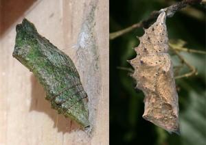 li: Gürtelpuppe vom Schwalbenschwanz (<em>Papilio machaon</em>) Quelle: Wikipedia (Urheber: Luis Miguel Bugallo Sánchez) re: Stürzpuppe © PeterBuchner/TLMF
