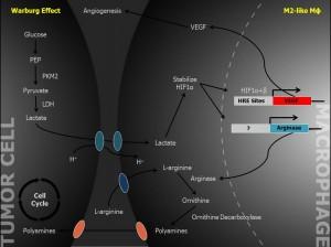 Der Stoffwechsel in der Tumorzelle basiert darauf, dass Glucose statt normal abgebaut zu werden, anaerob zu Laktat abgebaut wird. Durch das Laktat erhält der Makrophage das Signal, dass die benachbarte Zelle hypoxisch ist. Quelle: Max Birnstiel Lecture Ruslan Medzhitov