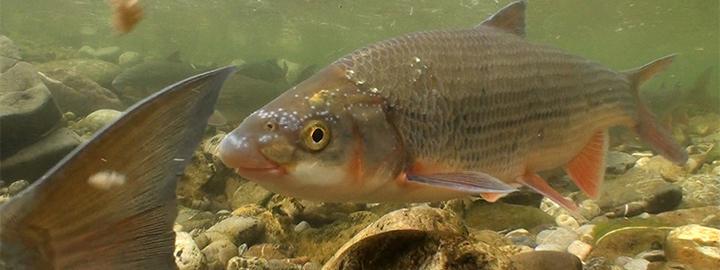 Der Laichzug der Nase: Diese charakteristische Fischart der Donau galt früher als Massenfisch; die imposanten Laichwanderungen sind aufgrund der zahlreichen Beeinträchtigungen heute ein bereits selten gewordenes Naturschauspiel. © Gerhard Pock/Life-Netzwerk-Donau