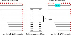 Abb.3.: DNase Footprinting Assay