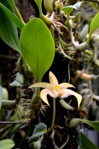 Bulbophyllum santosii, Botanischer Garten