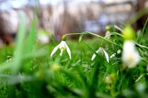 """""""Galanthus nivalis, Botanischer Garten"""", Bildunterschrift: Abb. 1: Das Kleine Schneeglöckchen (Galanthus nivalis) ist im Anhang B der EU-Verordnung gelistet. ©Martin Rose"""