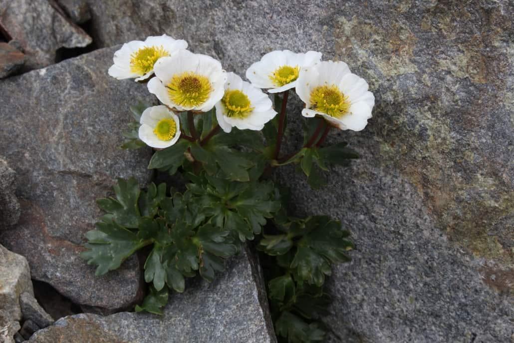 Abb.2: Der Gletscher-Hahnenfuß (Ranunculus glacialis) ist gut an das raue alpine Klima angepasst. Unter wärmeren Bedingungen sind seine physiologischen Grenzen schnell erreicht. Quelle: Harald Pauli