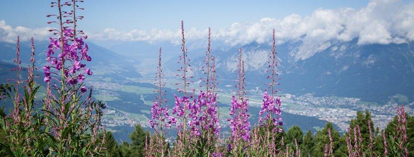 Panoramafoto Tirol mit alpinen Pflanzen