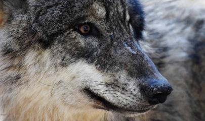 :: Wie steht es um den Wolf? – Interviewreihe mit europäischen ForscherInnen