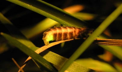 :: Glühwürmchen – mit Leuchtkraft gegen die Schneckenplage