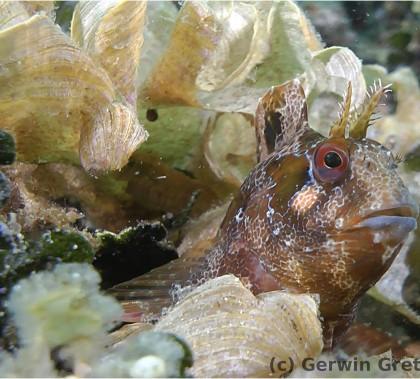 Der gestreifte Schleimfisch Parablennius gattorugine zwischen Braun- und Grünalgen (Foto: G.Gretschel)