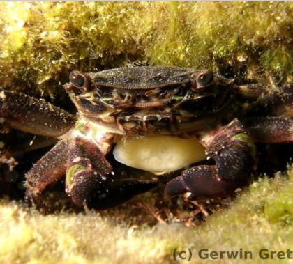 Abb.4.: Pachygrapsus marmoratus, die sehr scheue Strandkrabbe (Foto G.Gretschel)