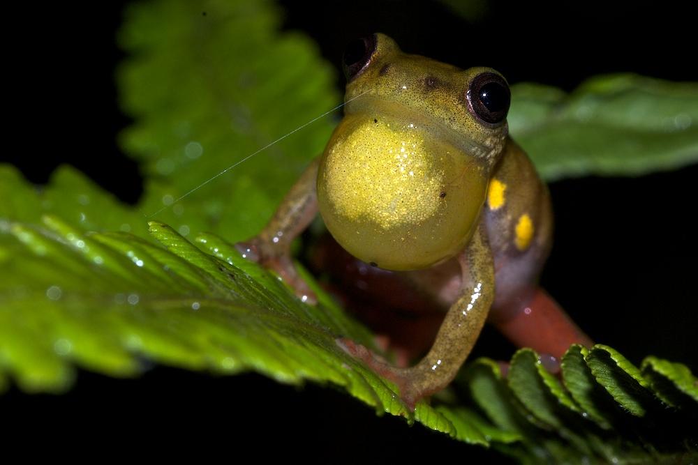 Bild 2: Männliche Riedfrösche (hier Hyperolius lateralis) haben eine besonders auffällige Schallblase.