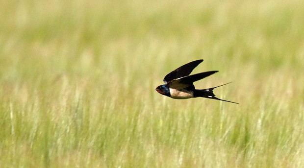 Eine jagende Rauchschwalbe (Hirundo rustica) im Flug, (c) DDd ( [CC-BY-SA-3.0 (http://creativecommons.org/licenses/by-sa/3.0)], via Wikimedia Commons