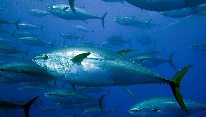 Thunfisch (c) Paul Hilton